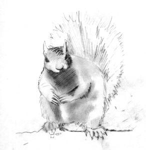 Squirrel Sketch