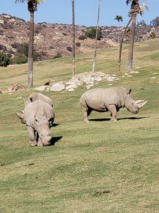Three Rhinoceros