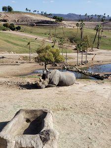 Resting Rhinoceros