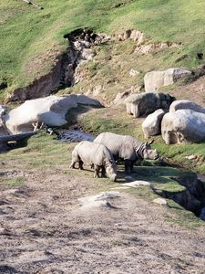 Mother Rhino and her young offspring