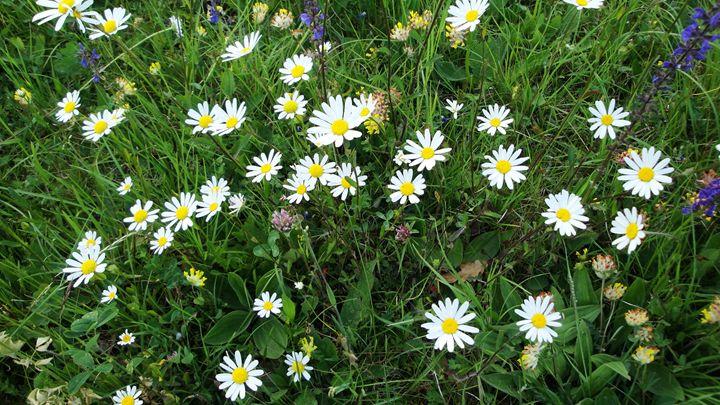 daisies - jamie-art
