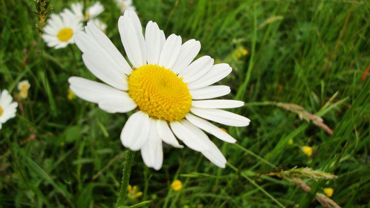daisy - jamie-art