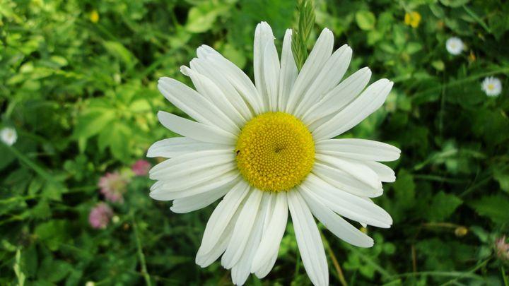 daisy2 - jamie-art