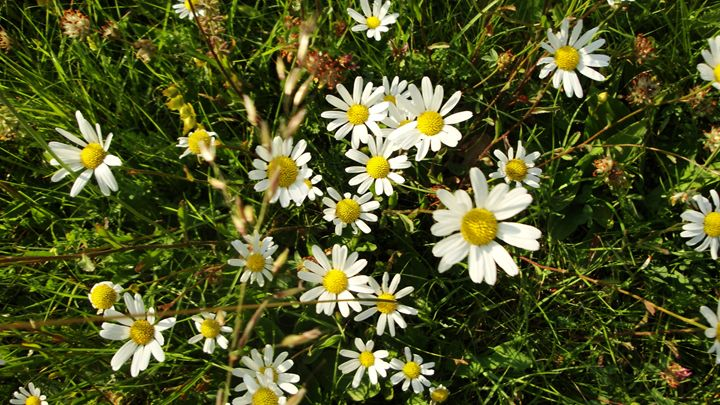 cluster of daisies - jamie-art