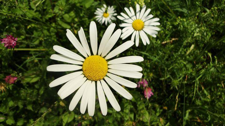 daisy4 - jamie-art