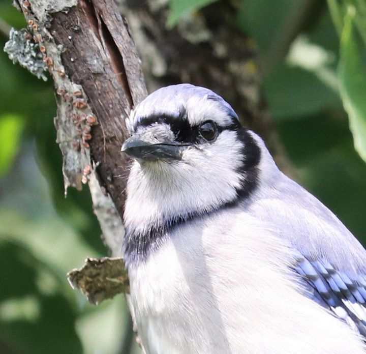 BLUE JAY AT THE ST.LAWRENCE RIVER - DREAMZ-ART