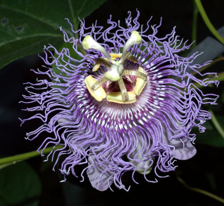 Passion Flower - Drgnfly Designs
