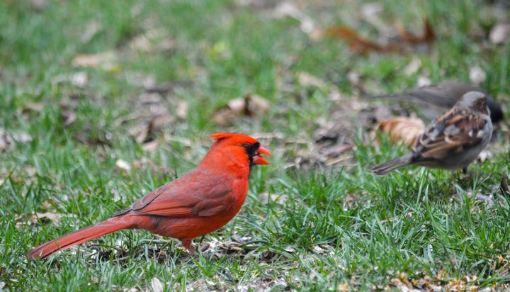 Cardinal - Drgnfly Designs