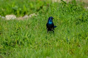 Grackle in the Grass - Drgnfly Designs
