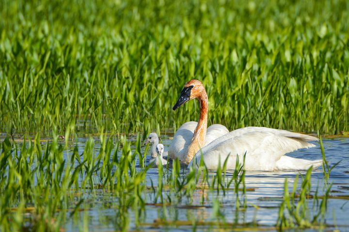 Trumpeter Swan and Cygnets - Drgnfly Designs