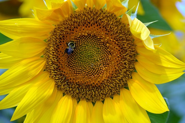 Bee on a Sunflower - Drgnfly Designs