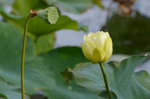 Water lily and a seed pod