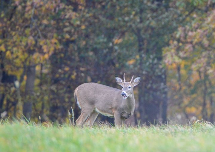 White tailed deer - Drgnfly Designs