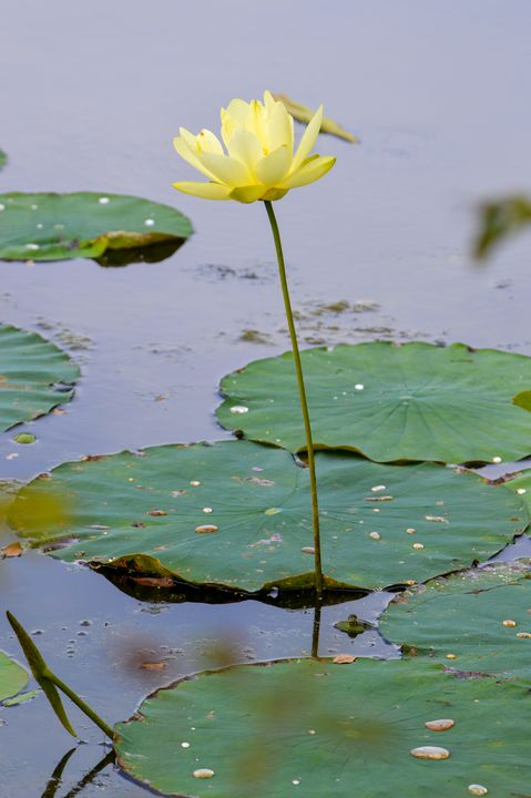 Water Lily - Drgnfly Designs