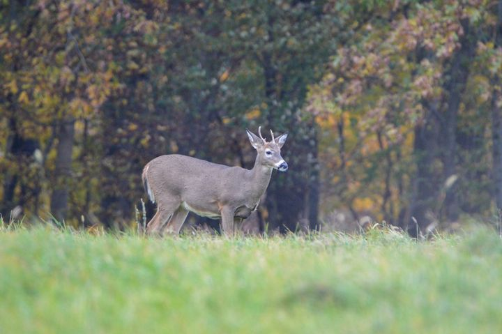 White Tail Buck - Drgnfly Designs