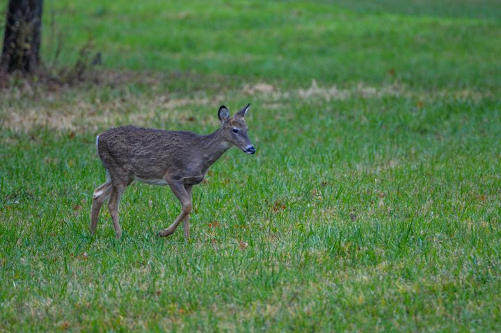 Deer - Drgnfly Designs