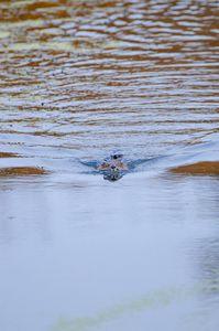 Beaver coming at Ya