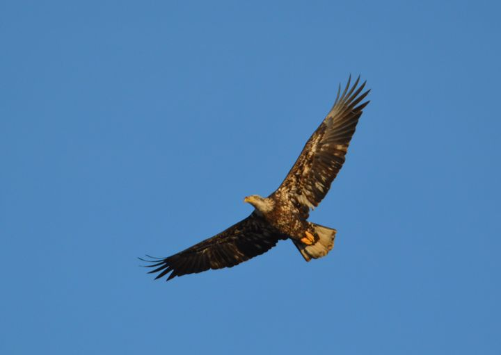 Eagle in Flight - Drgnfly Designs