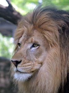 Asiatic lion face