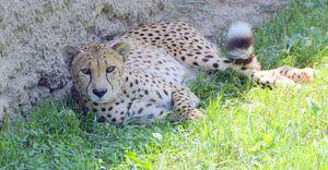 Cheetah - Drgnfly Designs