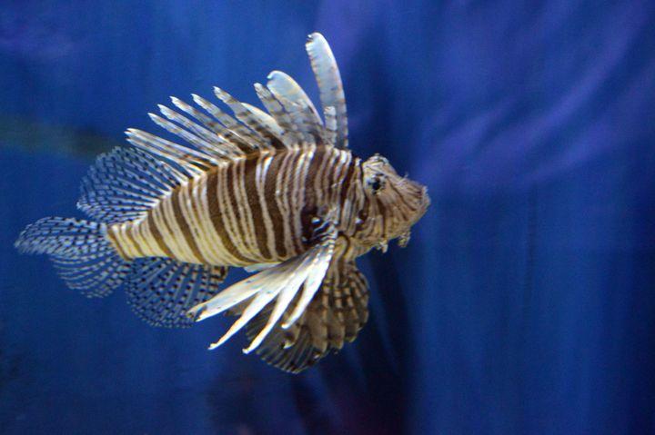 Lion fish - Drgnfly Designs