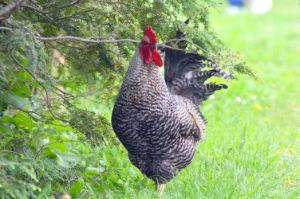 Plymouth Rock Rooster
