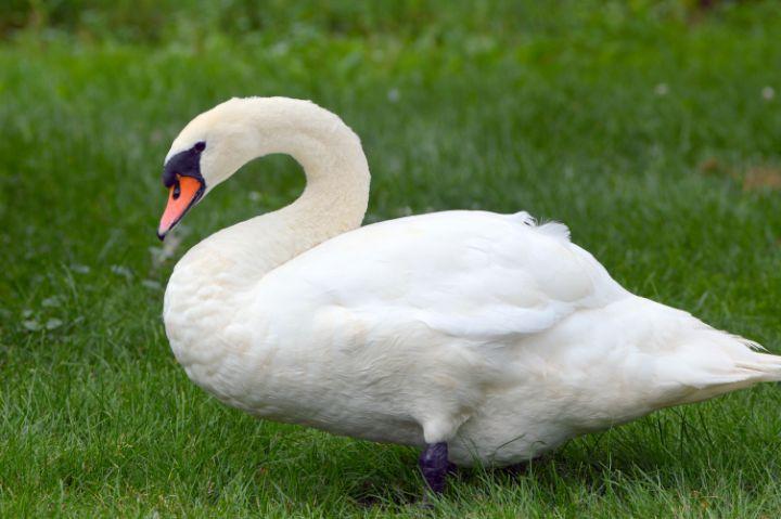 Swan - Drgnfly Designs