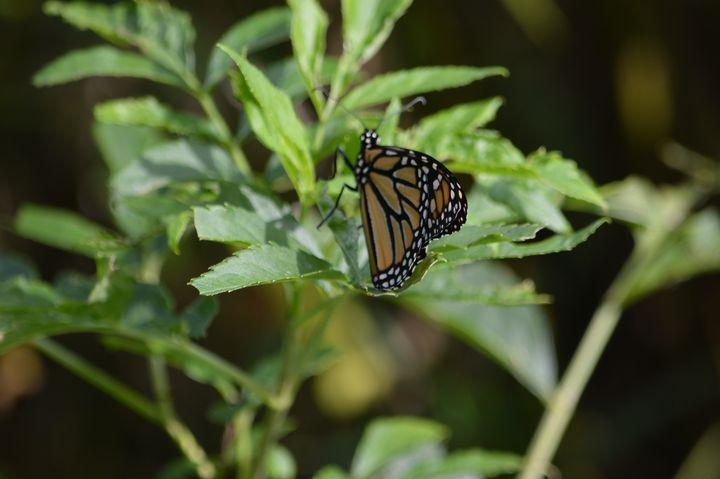 Monarch - Drgnfly Designs