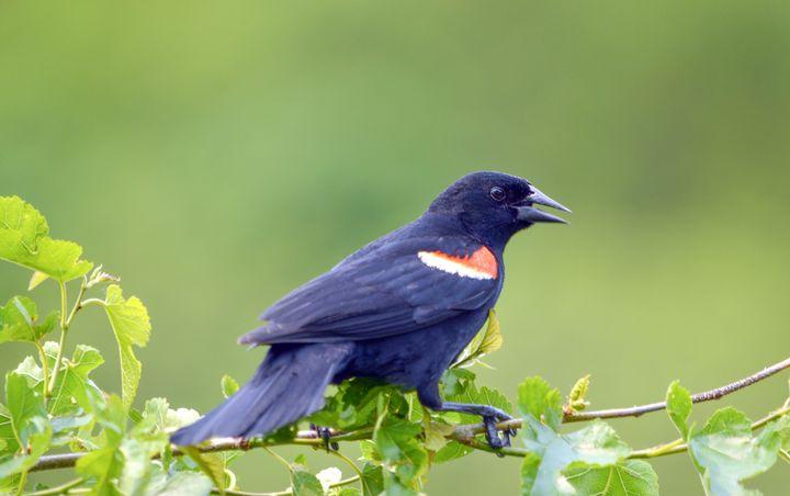 Red Wing Black Bird - Drgnfly Designs
