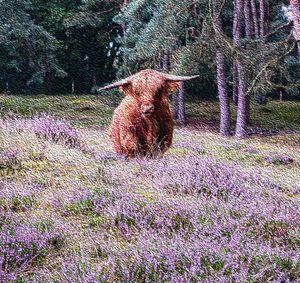 Scottish Highlander in the heather