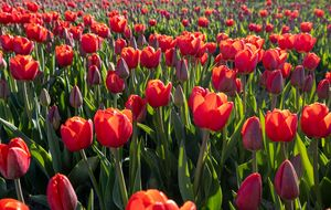 Tulips in red in The Netherlands