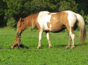 Chincoteague pinto mare and her foal