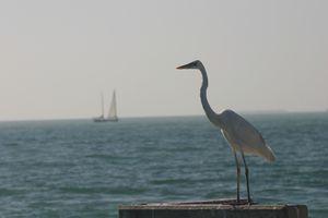 Avian Fisherman