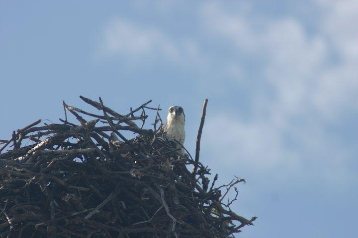 Nesting Osprey 1 - Armond Blackwater