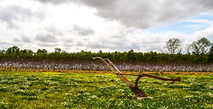 cotton field - Damion Poe Photography