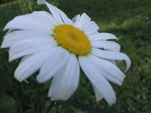Side Daisy
