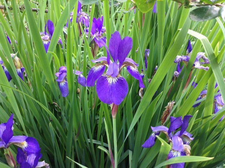 Purple Iris - Corrin Broussard