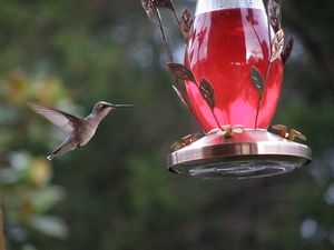 Humming Bird coming in for a taste