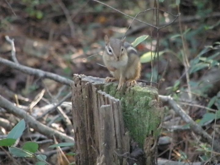 chipmunk - Touch of Paint and Photos by Scott