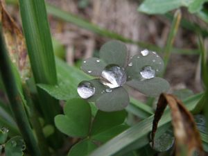 3 leaf clover with dew drops