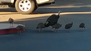The turkeys crossing the road
