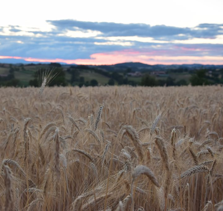 corn field - Photoléa'rt