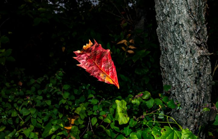 Red Leaf - EYEonic Images