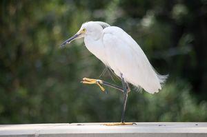 egret in midstep