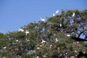Egret nesting colony