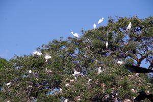 Egret nesting colony