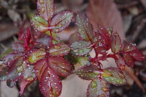 Raindrops on rose leaves 2