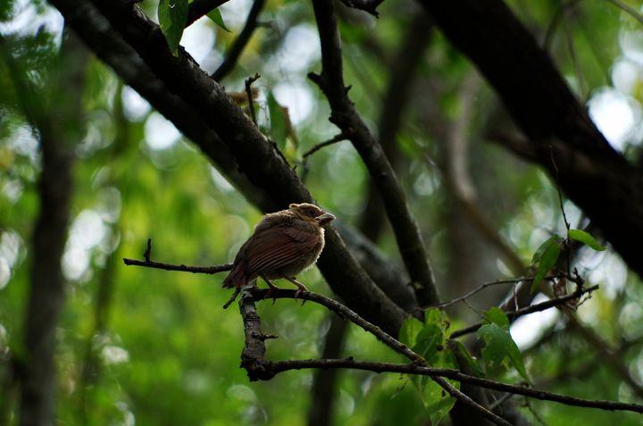 Juvenile cardinal in a tree - ERNReed