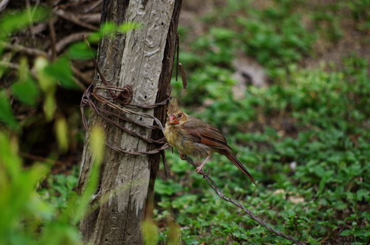 Juvenile cardinal on barbed wire - ERNReed