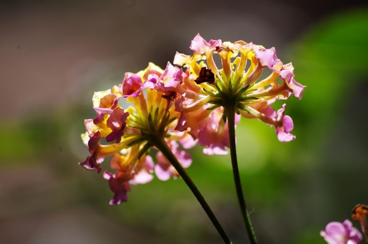 Backlighted lantana blooms - ERNReed